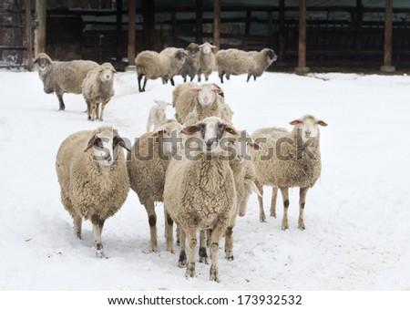 Herd of sheep standing on snow on farmland - stock photo