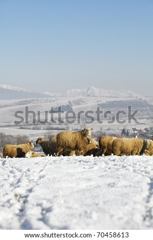 Herd of sheep, winter scene at village farm