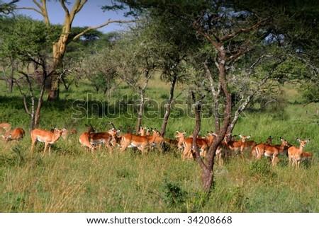 herd of springbocks at serengeti national park in tanzania, africa - stock photo