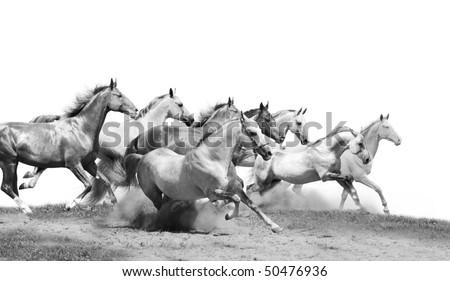 herd of stallions isolated - stock photo