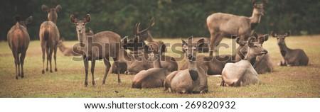 Herd of the Sambar deers. Panorama - stock photo