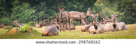 Herd of the Sambar deers. Panorama - stock photo