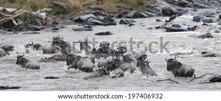 herd of white bearded wildebeest (Connochaetes tuarinus mearnsi) crossing Mara River during annual migration, Maasai Mara National Reserve, Kenya  - stock photo