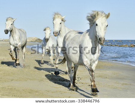 Herd of White Camargue Horses galloping along the beach in sunday light. Camargue, Provence, France - stock photo