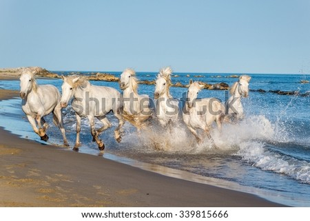 Herd of White Camargue Horses galloping through water in sunset light. Parc Regional de Camargue - Provence, France  - stock photo
