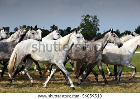 Herd White Horses Running Stockfoto Jetzt Bearbeiten 56059513