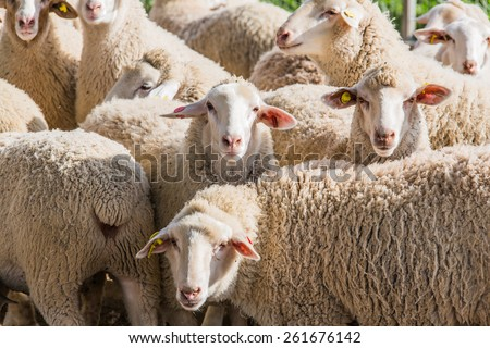 herd of white sheep in the countryside - stock photo