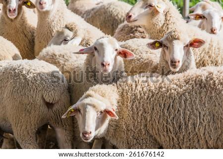 White sheep herd - photo#8