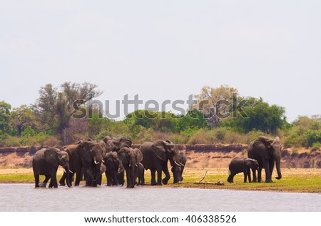 Herd of wild African elephants at a waterhole - stock photo