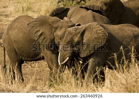 herd of wild african elephants in the bush, Kruger, South Africa - stock photo