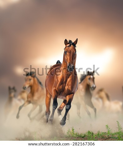 Herd of wild bay horses running in dust in sunset