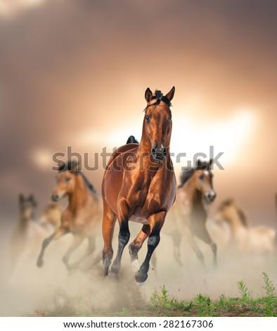 Herd of wild bay horses running in dust in sunset - stock photo