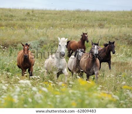herd of wild horses running on the field - stock photo
