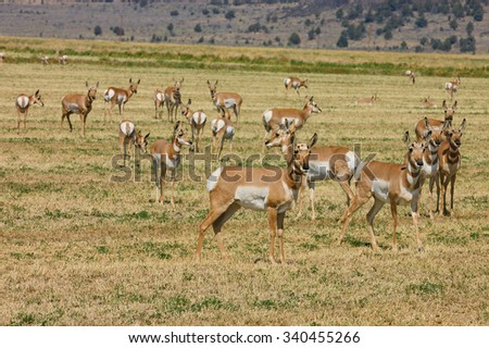 "Herd of wild North American Pronghorn ""Capri Americanus"" on cut alfalfa feilds"