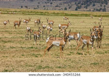 "Herd of wild North American Pronghorn ""Capri Americanus"" on cut alfalfa feilds - stock photo"