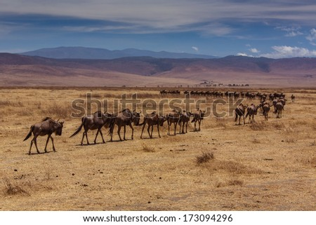 Herd of wildebeest going to the horizon