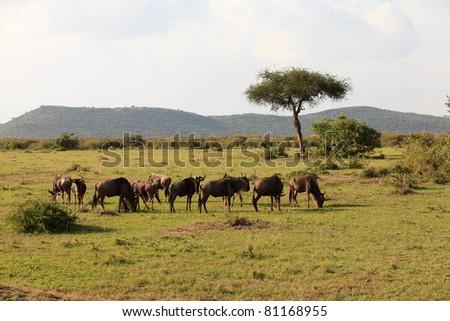 Herd of wildebeest in Masai Mara Kenya - stock photo