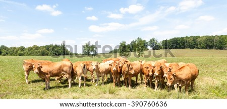 Herd of young Limousin beef cattle  standing in a line in a sunny summer pasture in a panorama banner format in French countryside - stock photo