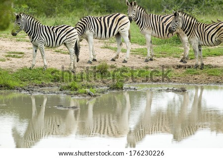 Herd of Zebra reflected at watering pond in Umfolozi Game Reserve, South Africa, established in 1897 - stock photo