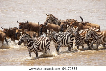 Herd of zebras (African Equids) and Blue Wildebeest (Connochaetes taurinus) crossing the river in nature reserve in South Africa - stock photo