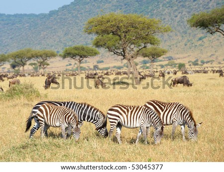Herd of zebras (African Equids) and Blue Wildebeest (Connochaetes taurinus) grazing in nature reserve in South Africa - stock photo