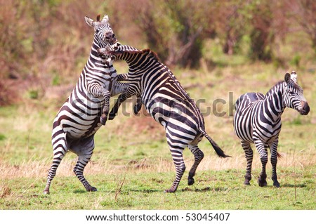 Herd of zebras (African Equids) playing in nature reserve in South Africa