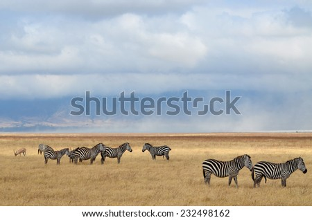 Herd of Zebras and an Antelope in Serengeti National Park, Tanzania - stock photo