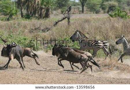 Herd of Zebras and Wildebeests running. Serengeti national park. Tanzania - stock photo