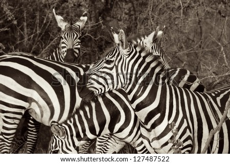 Herd of Zebras in Camouflaged in Black and White