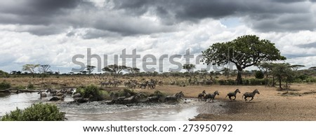 Herd of zebras resting by a river, Serengeti, Tanzania, Africa - stock photo