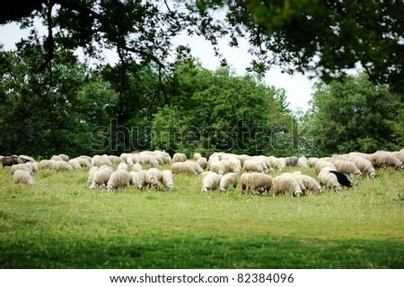 Herd on sheep in Italian fields - stock photo