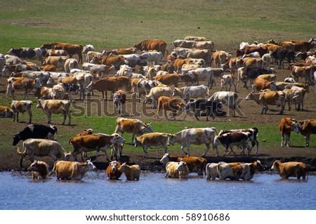 Herd ov cows - stock photo
