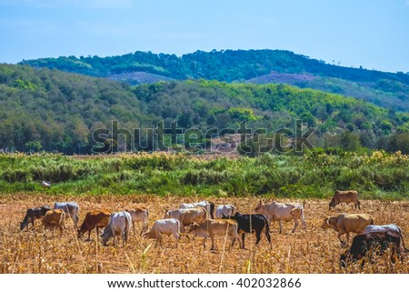 herds cows - stock photo