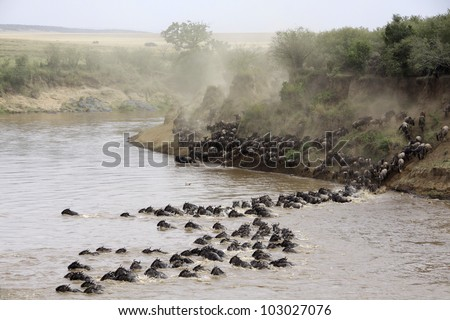 Herds crossing the Masai Mara river, Kenya - stock photo