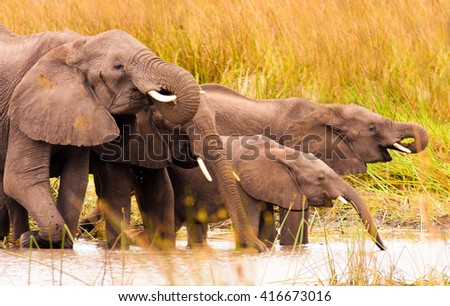 Herds of wild African elephants drinking - stock photo