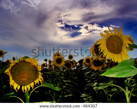 Here is a field of sunflower.