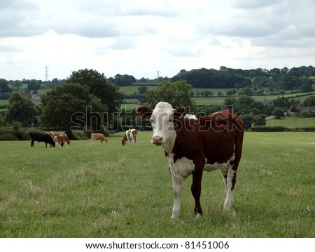 Hereford beef calf standing in meadow - stock photo