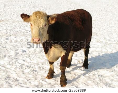 Hereford bull in snow - stock photo
