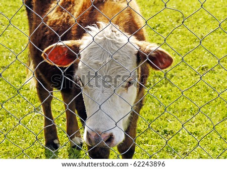 Hereford calf behind link fence - stock photo
