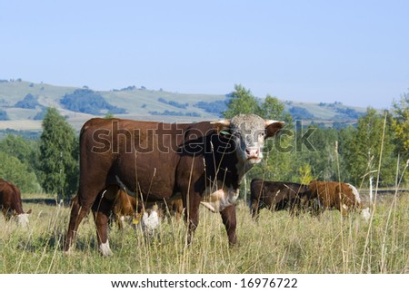 hereford cattle and herd on the pasture - stock photo