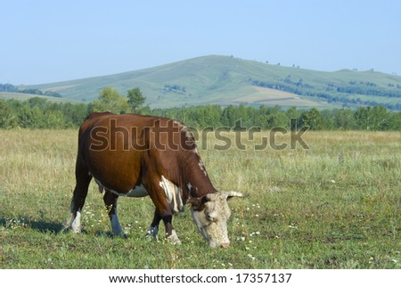 hereford cow on the pasture and hills - stock photo