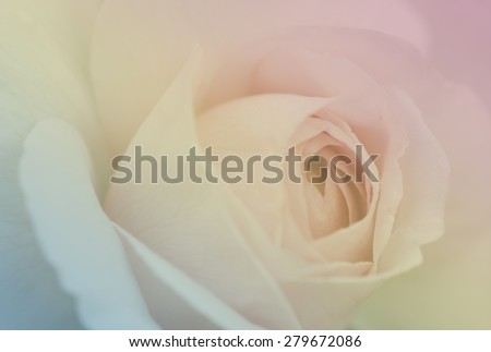 Heritage rose, English rose for the soft background - stock photo