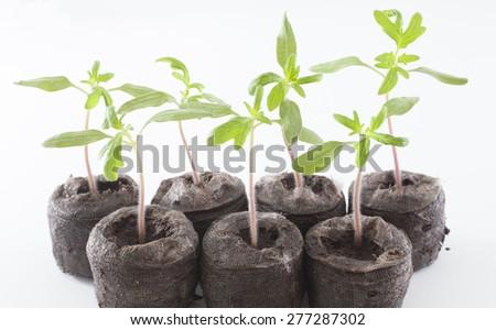 Heritage variety of tomato seedlings known as Cherokee purple  - stock photo