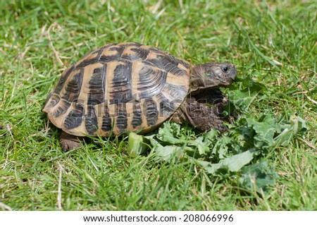Herman's Tortoise feeding - stock photo