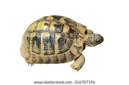 Herman's Tortoise turtle isolated on white background - stock photo