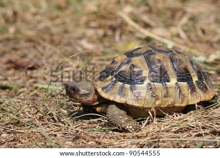 Hermann's Tortoise,  testudo hermanni - stock photo