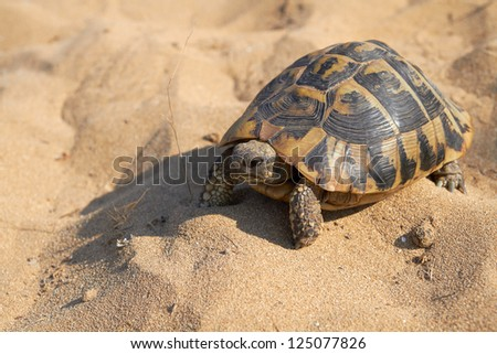 Hermann's tortoise Testudo hermanni on yellow sand background on sunny day, Corfu, Greece