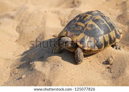 Hermann's tortoise Testudo hermanni on yellow sand background on sunny day, Corfu, Greece - stock photo