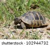 Hermann's Tortoise, turtle in grass,  testudo hermanni - stock photo