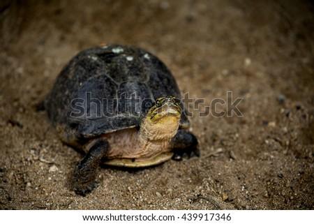 Hermann's Tortoise, turtle on sand, testudo hermanni - stock photo